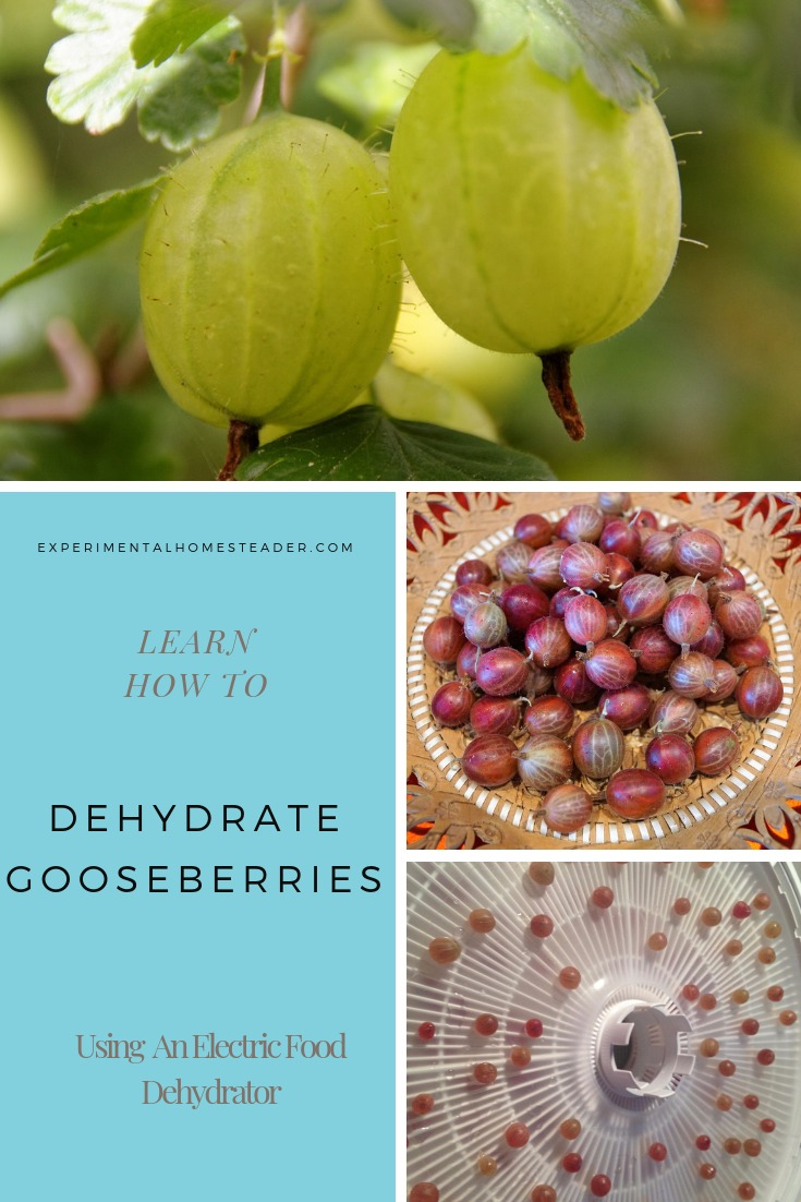 Green gooseberries on the plant. Purple gooseberries on a plate. Purple gooseberries on a dehydrator tray.