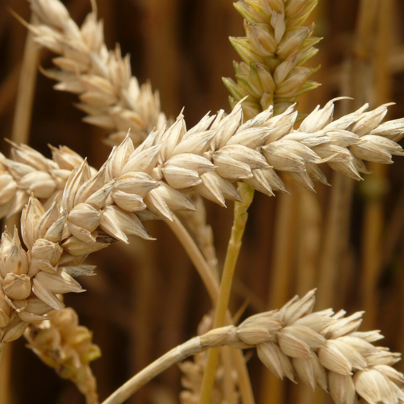 Dried wheat berries on the plant.