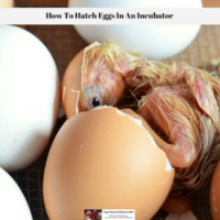 How To Hatch Eggs In An Incubator
