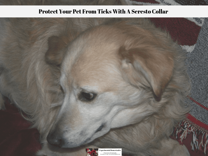 When you protect your pet from ticks they are content as this photo of our dog Precious Angel proves.