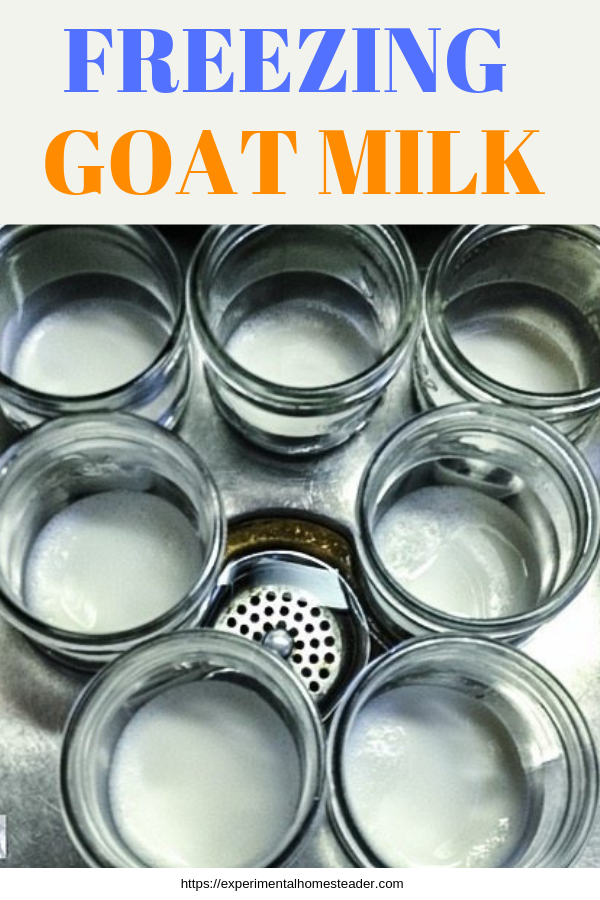 Goat milk in canning jars in a sink of water cooling in preparation for freezing.