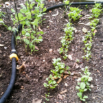 Young plants growing in a garden.