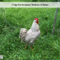 5 Tips For Keeping Chickens At Home
