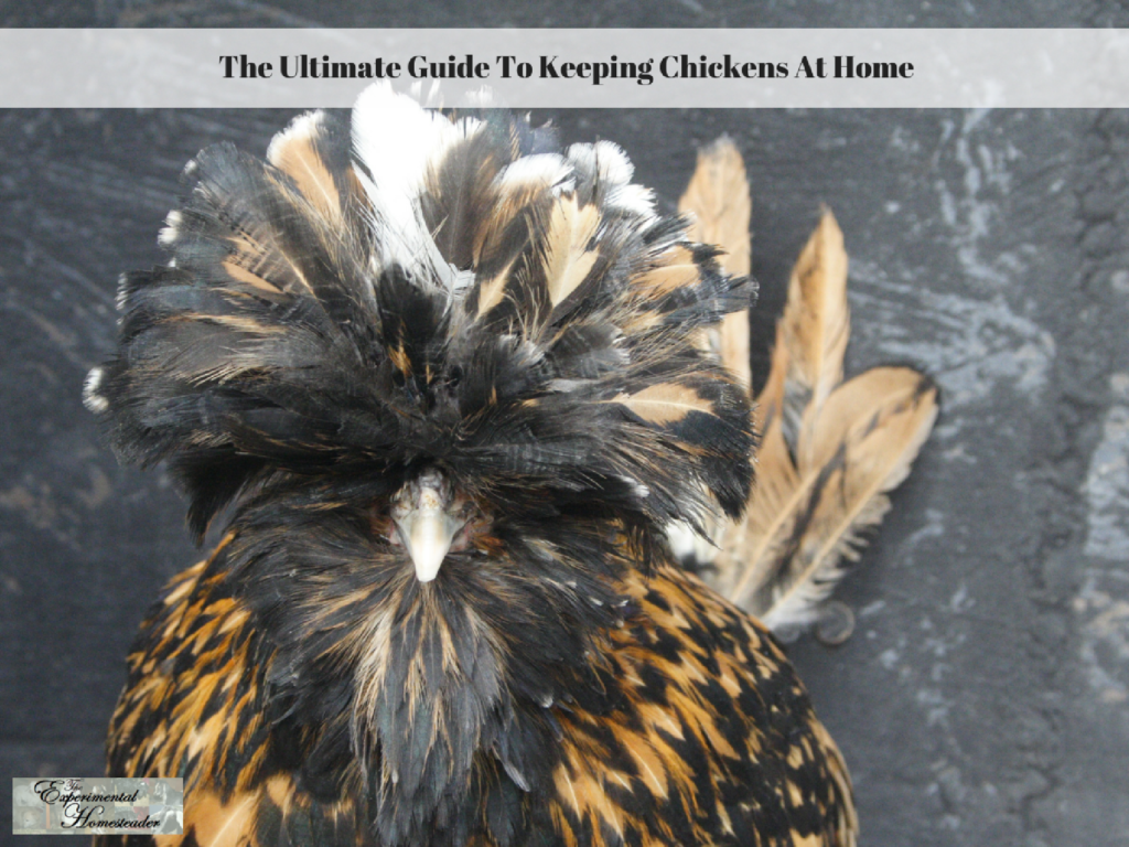 The Ultimate Guide To Keeping Chickens At Home