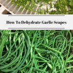 Dehydrated garlic scapes on a dehydrator tray. Fresh garlic scapes in a basket.