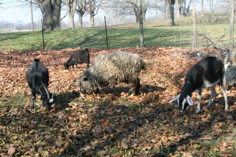 Goats and Leicester Longwool Sheep grazing on my homestead.