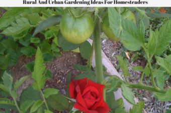 A red rose in bloom growing next to a tomato plant.