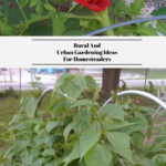 A red rose in bloom growing next to a tomato plant. The bottom photo shows green beans climbing over a PVC cold frame.