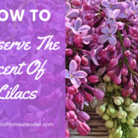 How To Extract The Amazing Scent Of Lilac Flowers