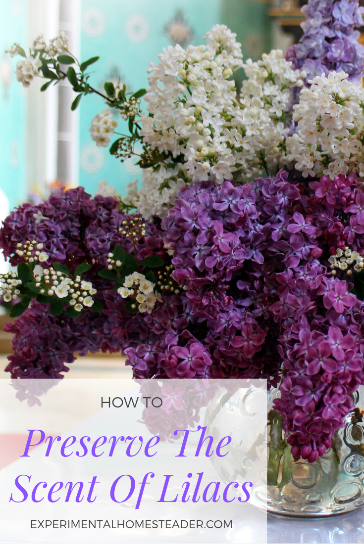Do you love the lilac scent? Learn how to preserve the scent of lilacs yourself. You can use the fragrance extraction in homemade bath and body products. #scentoflilacs #enfluerage #lilacpreserve #lilacscent #preservelilacscent