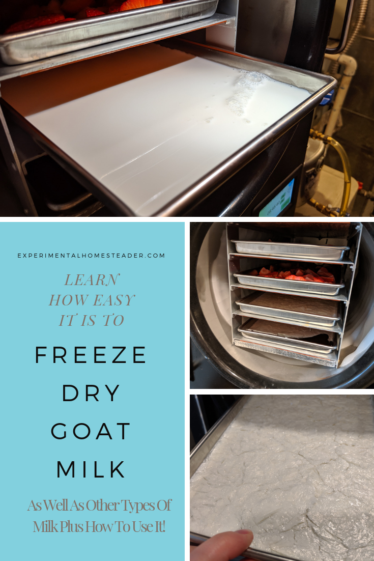 Milk in a freeze dryer tray. The trays in the freeze dryer. Freeze dried milk ready to store.