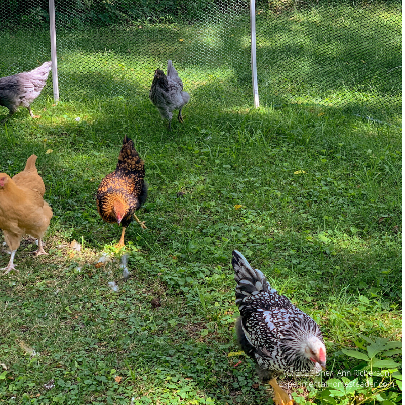 Chickens looking for bugs in the grass.